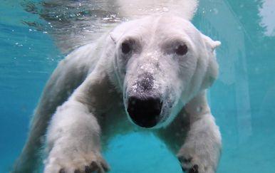 Polarni medvjed (Foto: AFP)