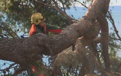 Sječa stabala na Marjanu (Dnevnik.hr)