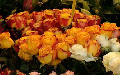 Proizvodnja ruža (Foto: Dnevnik.hr) - 1