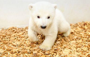 Polarni medvjed (Foto: Steffen Freiling / TIERPARK BERLIN / AFP)
