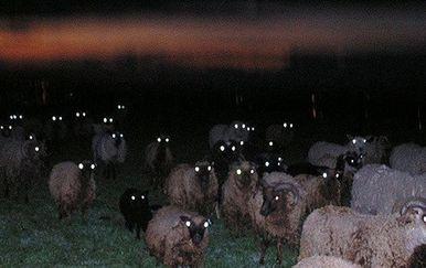 Ovce u mraku (Foto: sadanduseless.com) - 19