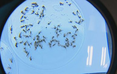 Komarci pod povećalom (Foto: Dnevnik.hr)