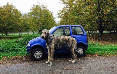 Irski vučji hrt (Foto: boredpanda.com) - 9