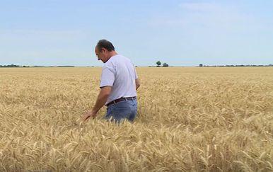 Polje pšenice - 2