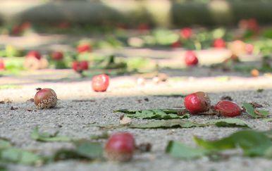 Tuča uništila vrtove (Foto: Dnevnik.hr) - 2
