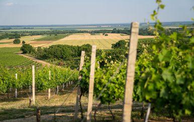 Vinograd Vinarije Pinkert u Baranji