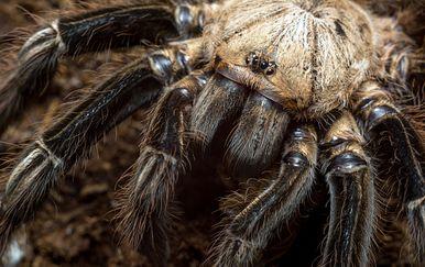 Tarantula (Ilustracija: Thinkstock)