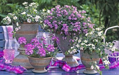 Ljetni cvijet bakopa divan je izbor za uređenje balkona - 4