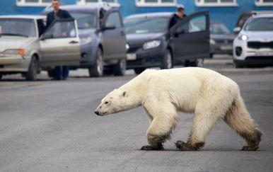 Polarni medvjed luta industrijskim gradom u Rusiji (Foto: AFP) - 2