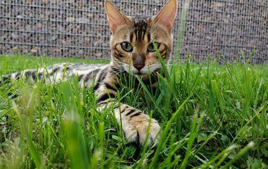 Bengalska mačka zbog svojeg točkastog krzna podsjeća na leoparda - 3