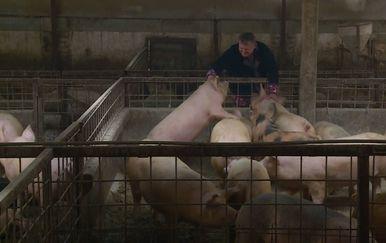 Wellness za svinje i krave (Foto: Dnevnik.hr) - 1