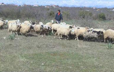 Stado ovaca (Foto: Dnevnik.hr) - 2