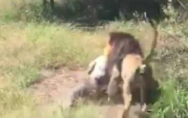 Vlasnika poznatog safari parka napao lav i odvukao ga u grmlje kao da je ništa (Screenshot Twitter)