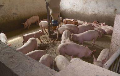 Afrička svinjska kuga pred vratima (Foto: Dnevnik.hr) - 2