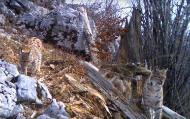 Ris Doru pušten u NP Risnjak (Foto: Screenshot)