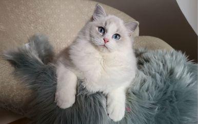 Prelijepe mace Ragdoll su mirne, tihe, veoma opuštene te jako mazne i vezane za svoje ukućane - 1
