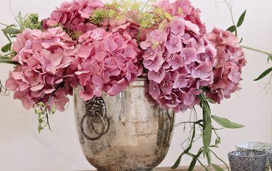 Najpopularnija je ružičasta hortenzija