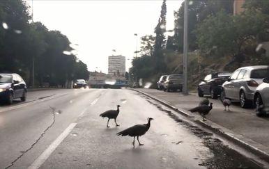 Paunovi prelaze preko ceste u Splitu