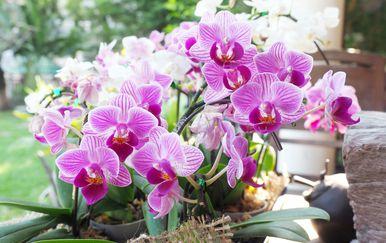 Orhideja će uljepšati svaki prostor