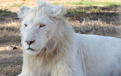 Afrički bijeli lav (Foto: Getty Images) - 4