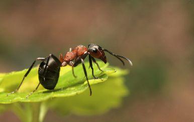 Mrav, ilustracija (Foto: Getty)