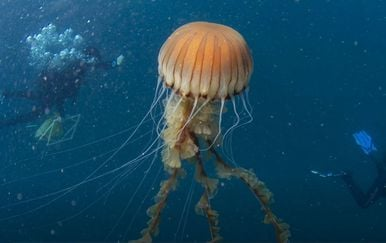 Divovska meduza u akvatoriju Trogira - 3