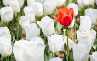 Jedan crveni tulipan među puno bijelih