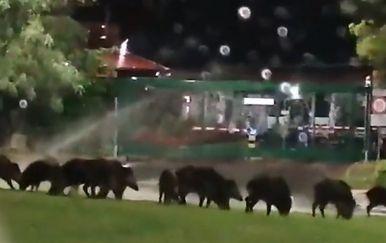 Divlje svinje u Rovinju - 1