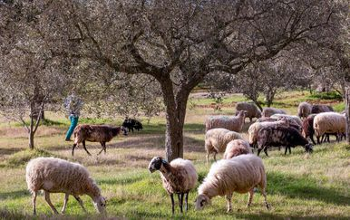 Stado ovaca, ilustracija
