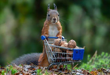 Fotografije Alberta Beukhofa crvene vjeverice s kolicima za kupovinu - 4