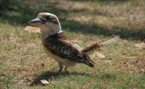 Ptica cocobarra