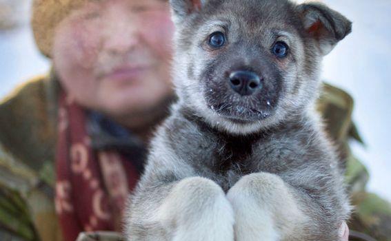 Sibirski psi navikli su na ekstremne hladnoće