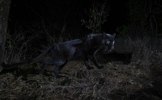 Crni leopard - 1