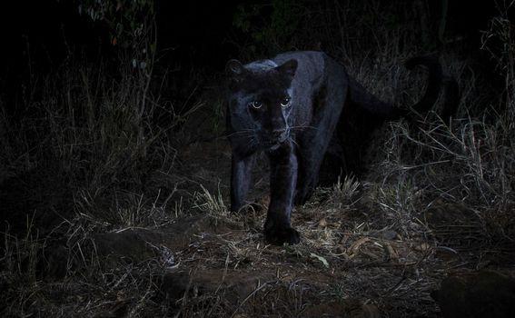 Crni leopard - 2