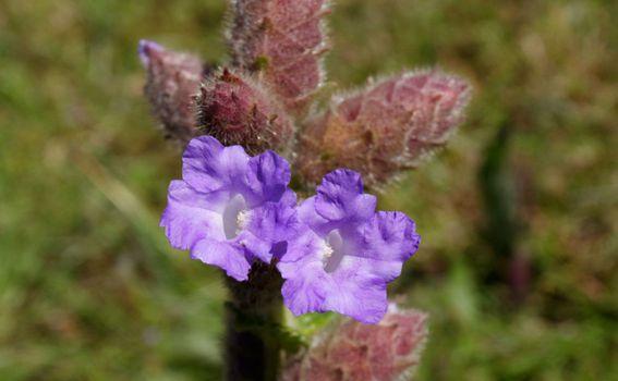 Neelakurinji je jedan od najrjeđih cvjetova na svijetu