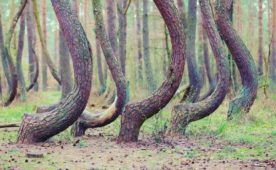Iskrivljena šuma u Poljskoj - 2