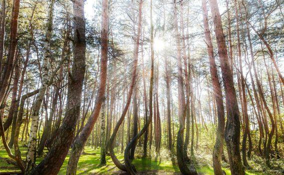 Iskrivljena šuma u Poljskoj - 5