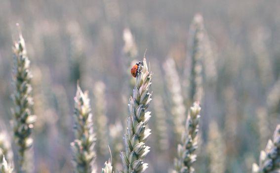 Prekrasna žitna polja Slavonije