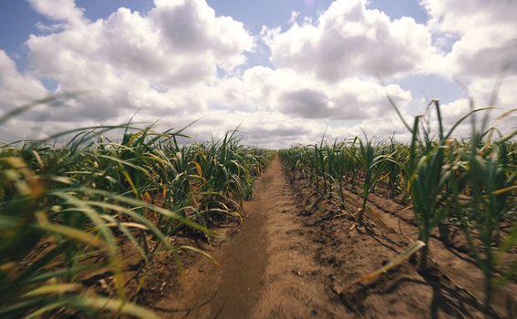 Plodne srijemske ravnice na kojima Marijan Balić uzgaja češnjak