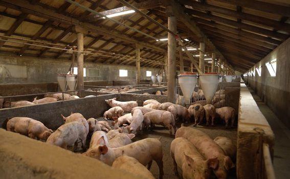 Stanko Josipović hrani i brine se o dvije tisuće svinja