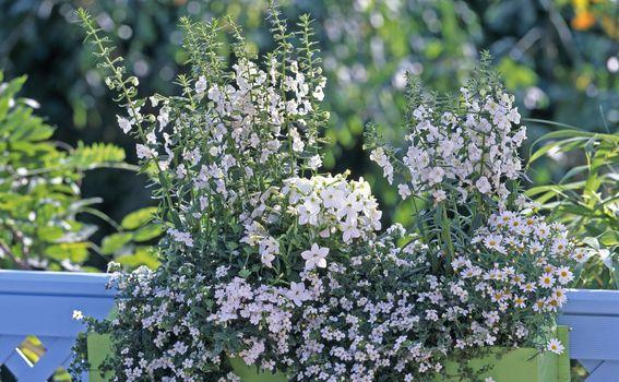 Ljetni cvijet bakopa divan je izbor za uređenje balkona - 3