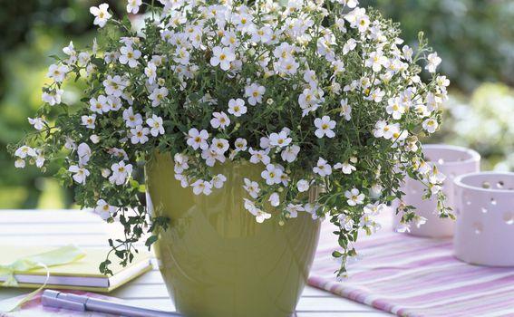 Ljetni cvijet bakopa divan je izbor za uređenje balkona - 8