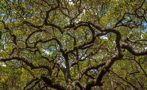 Najveće stablo indijskih oraščića na svijetu, Natal, Brazil - 2