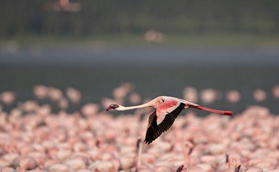 Jezero Nakuru - 1