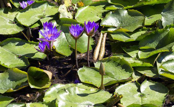 Bogata vegetacija - Lotus cvijet