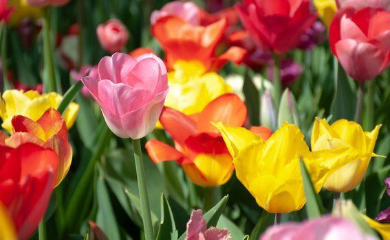 Tulipani - 4