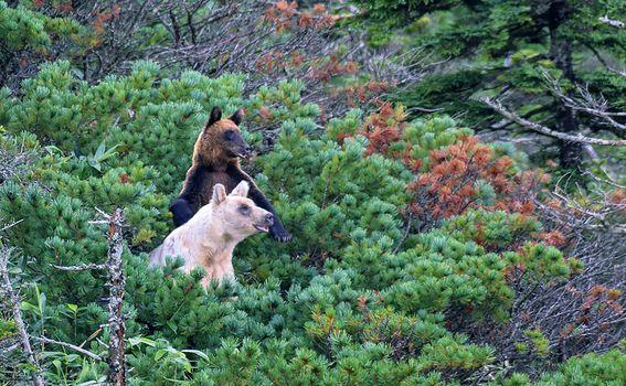 Smeđi medvjedi na otoku Kunashir - 3