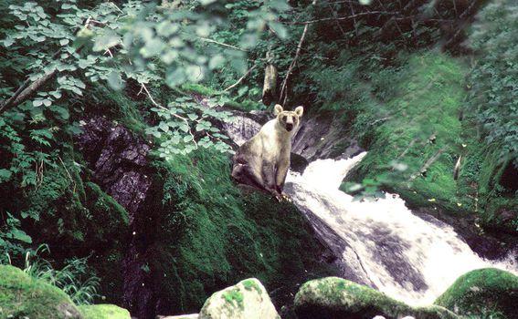 Smeđi medvjedi na otoku Kunashir - 4