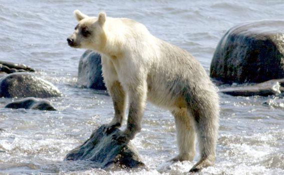 Smeđi medvjedi na otoku Kunashir - 6