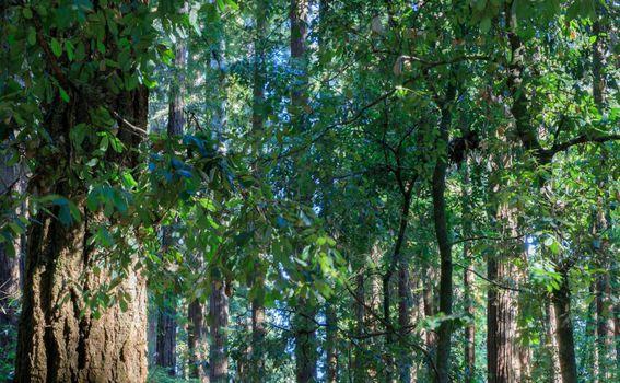 Golemi mamutovac u Henry Cowell Redwoods State parku - 4